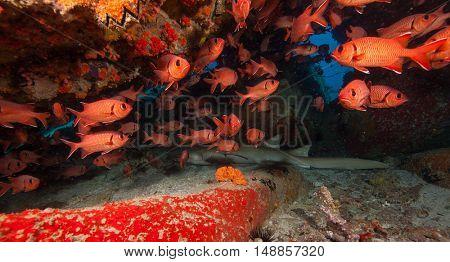 Baby of reef shark sleeping under coral cave