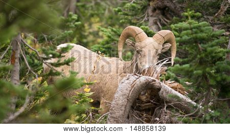 Bighorn Sheep stares photographer down in Glacier National Park