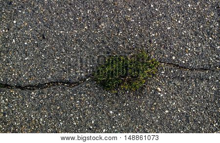 Asphalt, asphalt texture, scabrous asphalt background, closeup, cracked asphalt, green plant growing from crack in asphalt