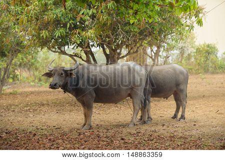 Thai buffalo is grazing in a field