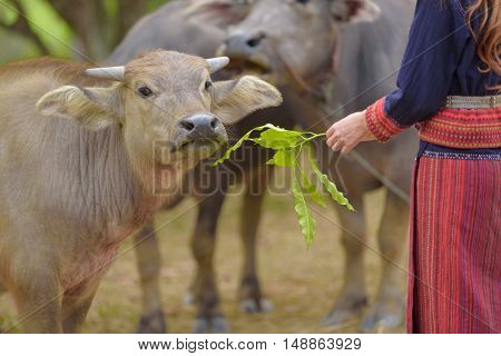 Thai buffalo eat leave from lady hand in farm.Thailand