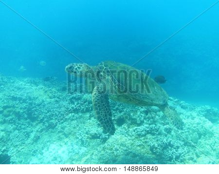 Sea turtle swimming along in the deep blue sea.