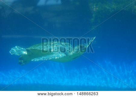 Amazing sea turtle gliding along underwater in the deep blue ocean