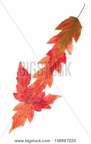 Isolated line multicolor arrows collection of elements application of dried pressing bright maple leaves. set for your design on a white background