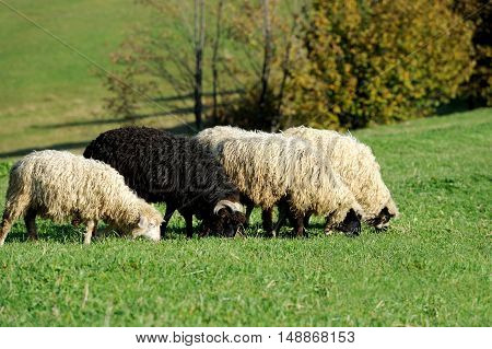 Flock sheep on a autumn field in moutain
