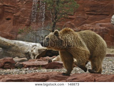 Grizzly Bear Pacing