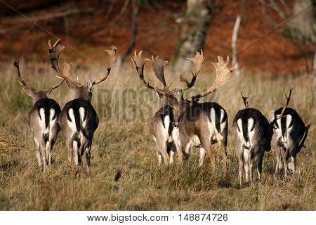 A Herd of Fallow deer in the autumn forest