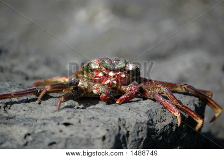 Dead Red Crab