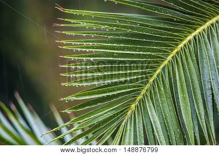 Close up raindrops on the branch of palm trees under a tropical downpour