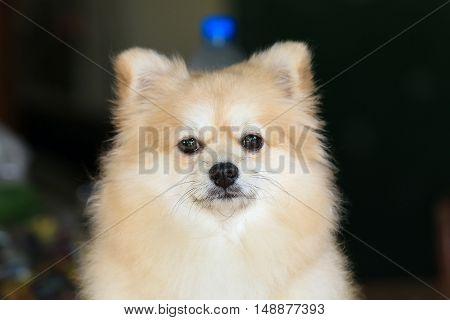 The Pomeranian dog crouching on the floor