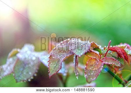 Beautiful green leaf with drops of water or fresh leaf with dew drops with lens flare effect