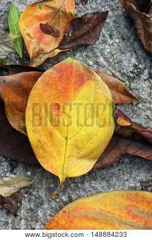 Fallen autumn leaf, painted in red and yellow colors