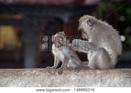 Macque Ape Monkey Inside Bali Induist Temple