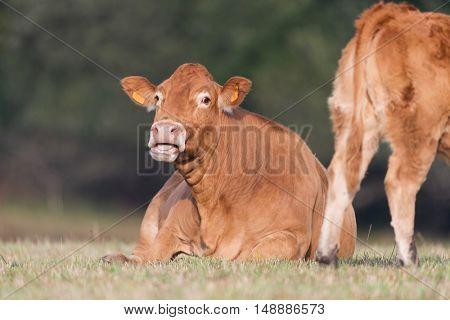 Limousine cow in fields in France