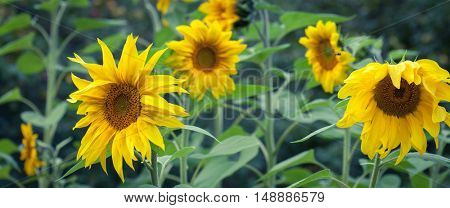 Sunflowers In Bloom, Bright Yellow Flower Outdoors In Field, Harvest Of Sunflowers, First Phase Of Production Of Edible Sunflower Oil, Agricultural Business, Summer farming, Food production industry