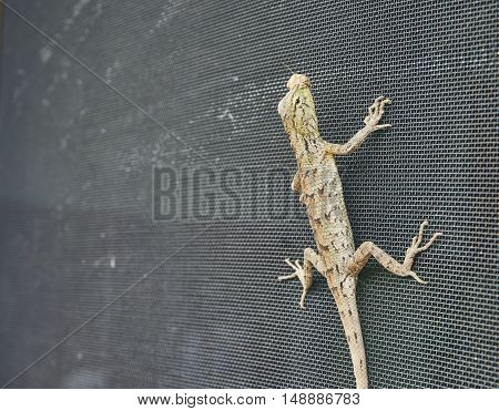 Close up picture of lizard grabs on the wire screen