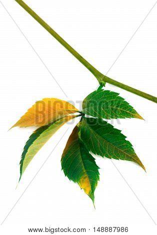 Multicolor Autumn Twig Of Grapes Leaves, Parthenocissus Quinquef