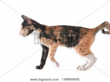 cat isolated, cat on white, bacgeound .
