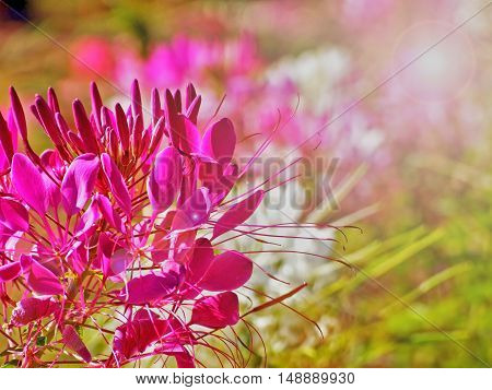 Beautiful pink flower in the garden with light flare, spring background with beautiful pink flower, pink flower with light flare