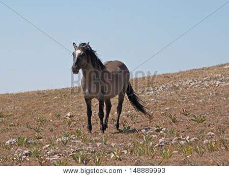 Wild Horse Grulla Gray colored Band Stallion walking down   Sykes Ridge in the Pryor Mountains in Montana - Wyoming USA.