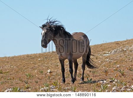 Wild Horse Grulla Gray colored Band Stallion on Sykes Ridge in the Pryor Mountains in Montana - Wyoming USA.