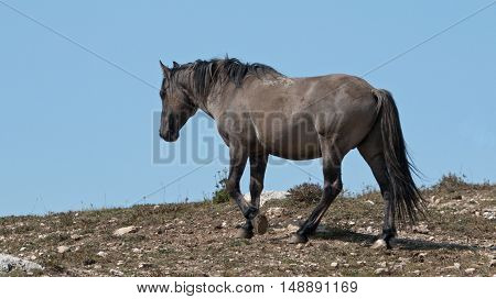 Wild Horse Grulla Gray colored Band Stallion on ridge above watering hole in the Pryor Mountains in Montana - Wyoming USA.