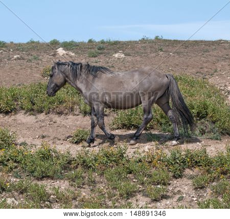 Wild Horse Grulla Gray colored Band Stallion on trail above watering hole in the Pryor Mountains in Montana - Wyoming USA.