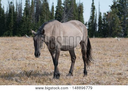 Wild Horse Grulla Gray colored Mare on Sykes Ridge in the Pryor Mountains in Montana - Wyoming USA.