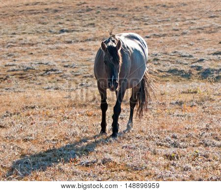 Wild Horse Grulla Gray colored Mare on Sykes Ridge above Teacup Bowl in the Pryor Mountains in Montana - Wyoming USA.
