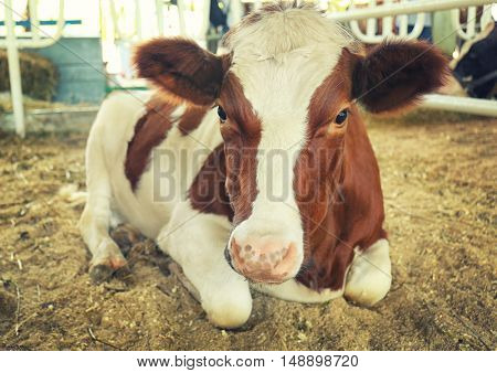 Cow in corral