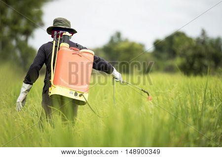 Farmer spraying on green rice field asia