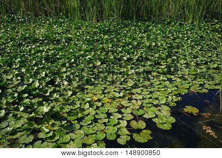 Lake water filled with water lily leaves on a summer day
