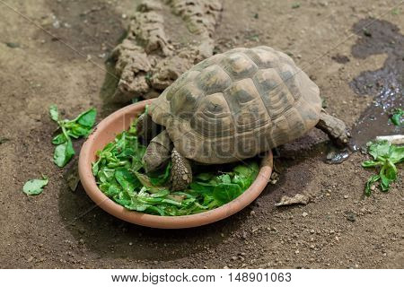 Hermann's tortoise (Testudo hermanni). Wildlife animal.