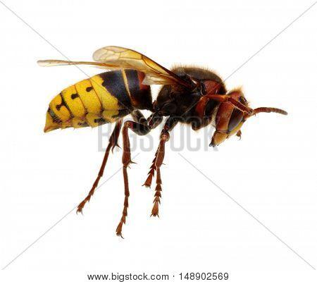 hornet isolated on white
