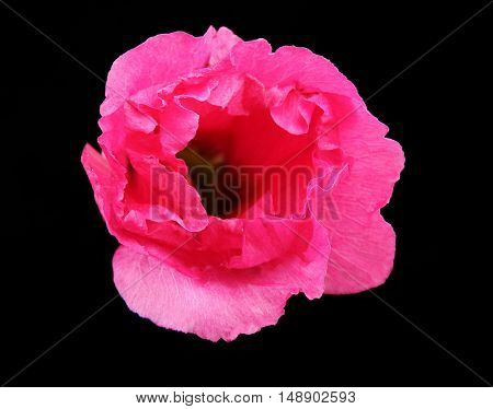 Beautiful pink mallow on black background