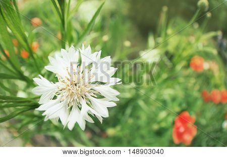 Cornflowers in the field, macro view
