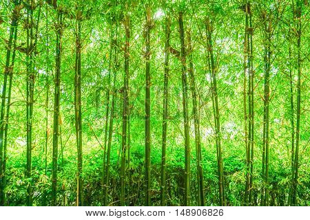 nature background of green bamboo grove with daylight