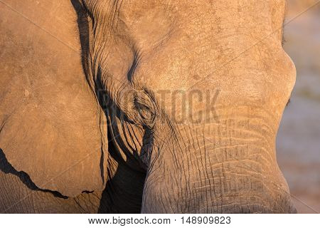 Close Up And Portrait Of A Huge African Elephant Hit By Warm Sunset Light. Wildlife Safari In The Kr