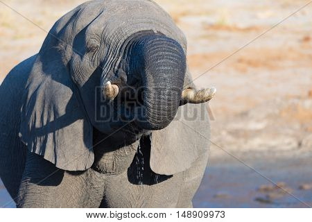 Close Up And Portrait Of A Huge African Elephant Drinking From Waterhole. Wildlife Safari In The Kru