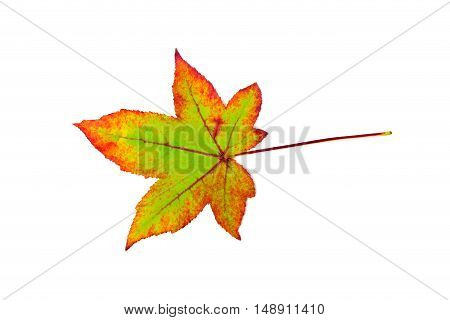 One colorful maple leaf in fall isolated on white background