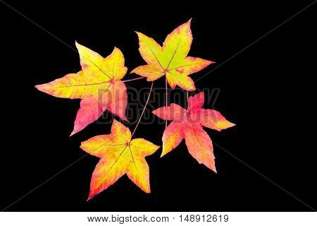 Four colored fall leaves isolated on black background