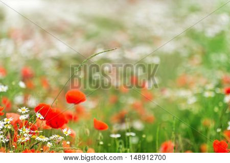summer meadow with Corn poppy and daisies in the sunshine
