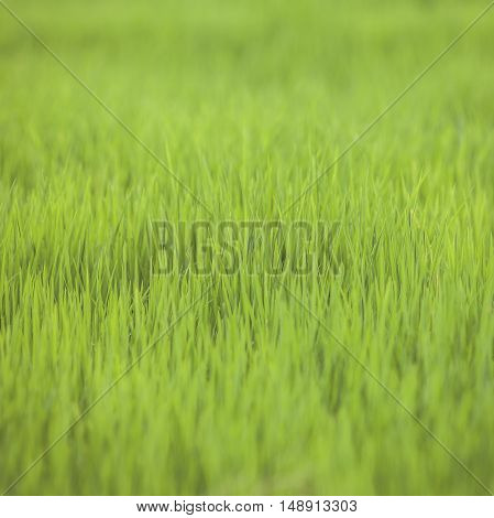 Vintage tone of farm rice paddy field in the begining green field