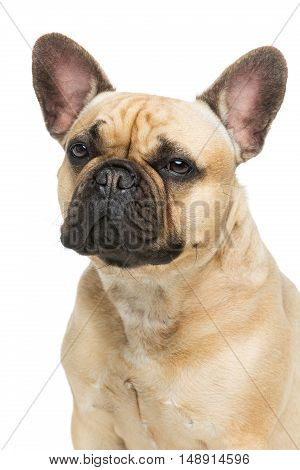 Portrait of beautiful young French buldog girl dog.  Isolated over white background. Closeup studio shot. Copy space.