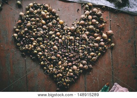 onion Harvest. heart of onion vegetable garden