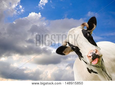Spotted black and white cow on background of sky with clouds. Funny black and white cow and dramatic blue sky. Farm animals. Funny cow sticks out her tongue