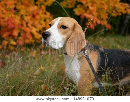 Dog portrait Beagle for a walk on the autumn background of maple leaves