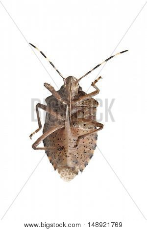 Stink bug on white background