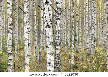 Birches. Trunks of birch trees in autumn.