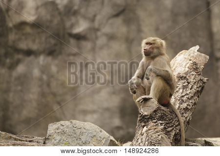 a baboon sitting on a log looking serious
